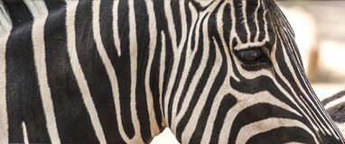 Деталь шеи, головы и глаза striped зебры Стоковые Изображения RF