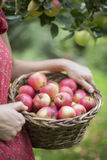 Деталь яблок рудоразборки женщины в саде Стоковое Фото