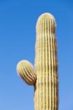 Деталь gigantea Carnegiea кактуса Saguaro бортовой руки Стоковое Изображение