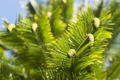 Деталь nobilis Wollemia листьев и конусов стоковые изображения