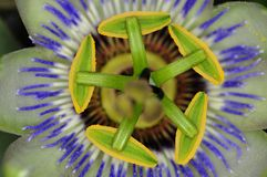 Деталь passionflower Стоковая Фотография