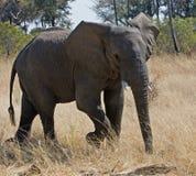 детеныши африканского слона стоковая фотография