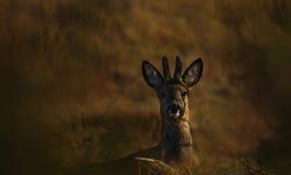 детеныши бархата козуль самеца оленя Стоковое Изображение