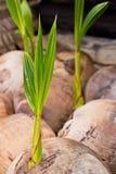 детеныши вала ростка кокоса стоковое фото rf