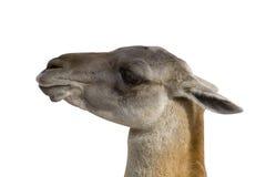 детеныши верблюда Стоковое фото RF
