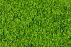 детеныши весеннего времени травы поля растущие Стоковые Фотографии RF