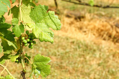 детеныши виноградины Стоковое Изображение RF