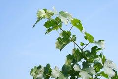 детеныши виноградника голубого неба стоковая фотография rf