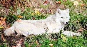 детеныши волка арктики вниз лежа стоковая фотография rf