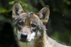 детеныши волка портрета Стоковые Изображения RF