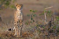 детеныши гепарда Стоковые Фото