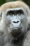 детеныши гориллы стоковые изображения