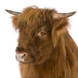 детеныши гористой местности коровы Стоковое фото RF