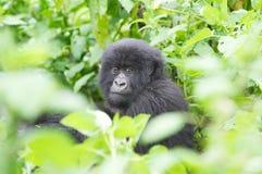 детеныши горы гориллы стоковые изображения rf