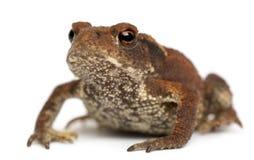 детеныши жабы bufo общие Стоковое фото RF