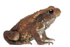 детеныши жабы bufo общие Стоковые Фотографии RF