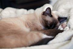 Детеныши, женский сиамский кот Napping на белом одеяле в комнате стоковые фото