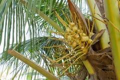 Детеныши желтых кокосов Стоковое Изображение RF