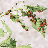 Детеныши жука Колорадо на заводе картошки Decemlineata Leptinotarsa Стоковые Изображения
