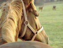 детеныши захода солнца портрета лошади Стоковое Изображение RF