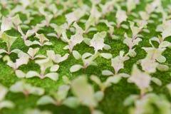 детеныши зеленого hydroponics cosl vegetable Стоковая Фотография RF