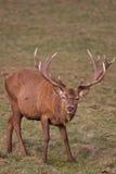 детеныши зимы рогача оленей красные Стоковая Фотография RF