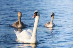 Детеныши и один белый взрослый лебедь на озере Стоковые Изображения