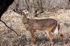 детеныши кабеля оленей самеца оленя белые Стоковое Фото