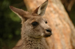 детеныши кенгуруа headshot Стоковые Изображения