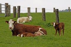 детеныши коричневой стороны коровы икры белые Стоковое фото RF