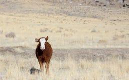 детеныши коровы Стоковое фото RF