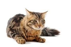 детеныши кота норвежские стоковое изображение