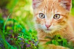 детеныши котенка звероловства зеленого цвета травы Стоковая Фотография RF