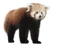 детеныши красного цвета панды fulgens кота ailurus светя Стоковое фото RF