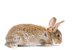 детеныши кролика коричневого цвета одного стоковые фотографии rf