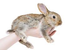 детеныши кролика коричневого цвета одного Стоковая Фотография RF