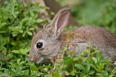 детеныши кролика одичалые Стоковая Фотография