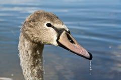 детеныши лебедя Стоковая Фотография
