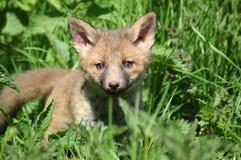 детеныши лисицы Стоковая Фотография RF