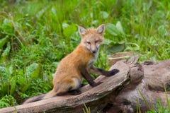 детеныши лисицы Стоковая Фотография