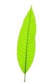 детеныши листьев стоковая фотография rf