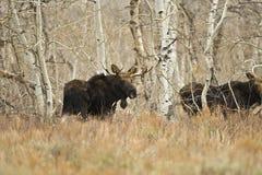 детеныши лосей быка Стоковые Изображения RF