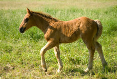 детеныши лошади Стоковое фото RF