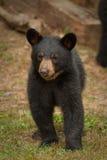 детеныши медведя одичалые Стоковое Изображение