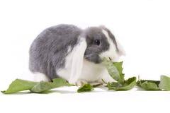 Детеныши мини-lop кролик есть листья Стоковая Фотография RF