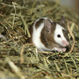 детеныши мыши Стоковое Фото
