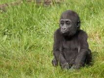 детеныши низменности гориллы западные стоковые изображения