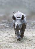 детеныши носорога Стоковая Фотография