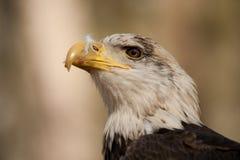 детеныши облыселого орла Стоковое Изображение RF