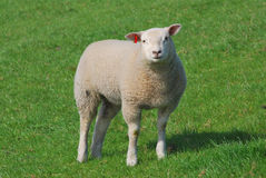 детеныши овец Стоковые Изображения RF
